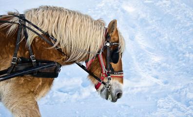 Horse portrait in winter