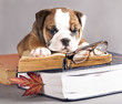 english Bulldog  and book,  and glasses