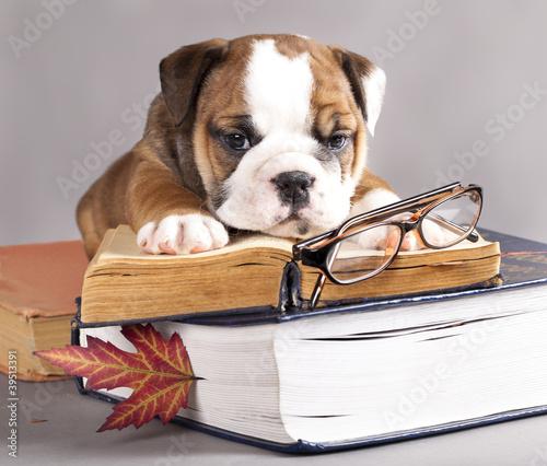 english Bulldog  and book,  and glasses