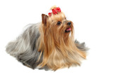 Adult dog yorkshire terrier