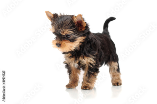 The puppy yorkshire terrier