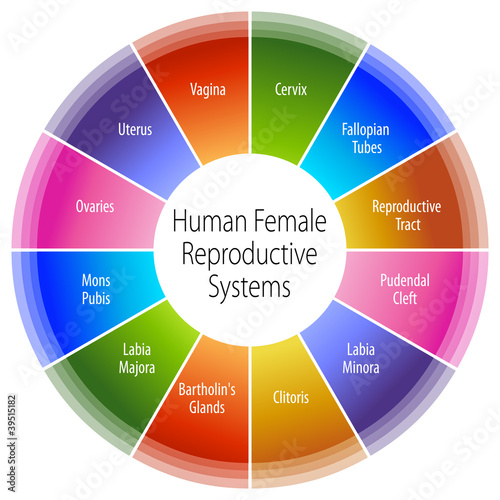 Human Female Reproductive Systems Chart