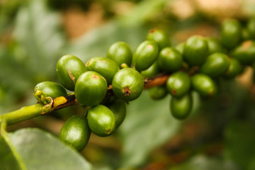 Coffee plants to mature. Montenegro, Colombia