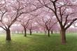 japanische Kirschblüten, Baumreihen in Park