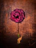 Grunge wilted rose over old leather background poster