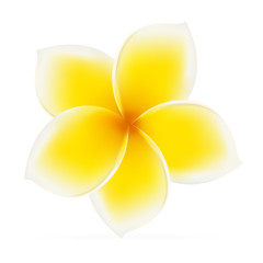 Frangipani. Asian yellow flower
