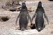Magellanic penguins in love in Patagonia, South America