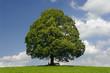 canvas print picture - Linde Baum