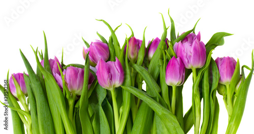 Foto op Canvas Tulp purple tulips border