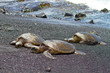 green sea turtles (Big Island, Hawaii)