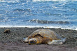 green sea turtle (Big Island, Hawaii)