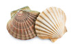 scallops shells - 39533917