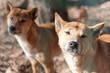 New Guinea Singing Dog (Canis dingo hallstromi)