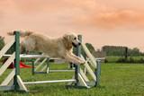 Fototapeta zwierzę - skakanie - Zwierzę domowe