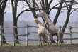 Fight of Lipizzaner stallions