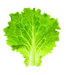 Fresh Lettuce / one leaf isolated on white background / close-up