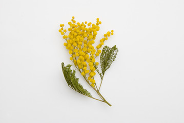 dried-mimosa