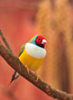 Gouldian Finch colorful bird