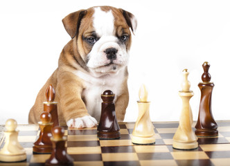 Puppy english Bulldog and chess piece