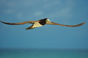 Yellow footed black white booby bird in spread wing flight
