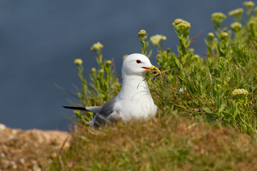 Seagull building a nest