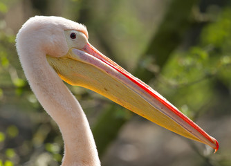 A close-up of a pelican