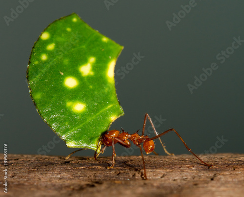 Papiers peints Porter A leaf cutter ant