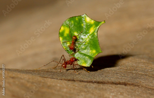 A leaf cutter ant