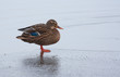 A wild duck on the ice