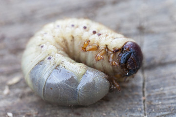 larve de capricorne