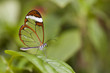 The Glass Wing Butterfly