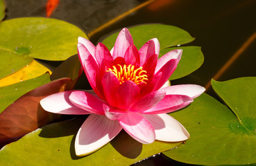 Nymphaea, Water Lilly