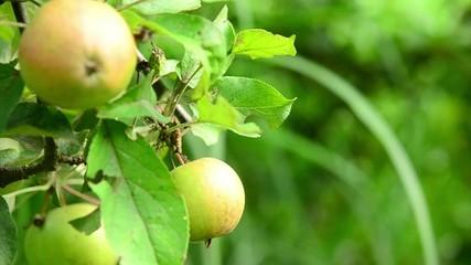 Apfelbaum / Appel tree