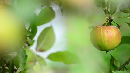 Apfelbaum / Appel tree II