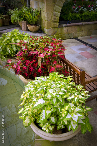 Beautiful potted coleus plants in garden room