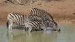 Plains (Burchell's) Zebras drinking, Mkuze, South Africa