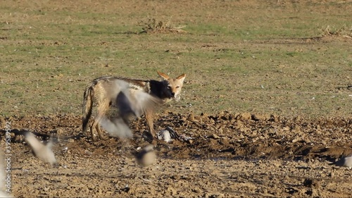 Black-backed Jackal eating a dove it caught, Kalahari