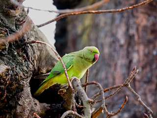 Rose-ringed Parakeet (Psittacula kramer) wild in London with nes