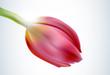 pink tulip (vector)