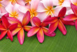 Colorful Plumeria flowers on banana leaf
