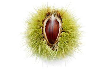 ripe chestnut pops up through its half opened husk