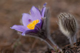 Pasque flower - Pulsatilla