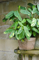 Exotic potted ctenanthe indoor plant on sandstone ledge