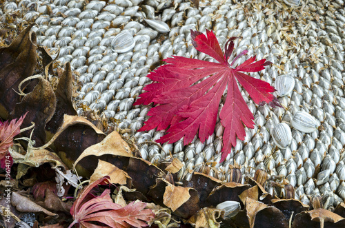 Autumn concept with maple leaf and sunflower head