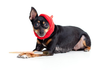 lying toy terrier dog in artist hat with painting brush