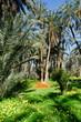 oasis de Mides, palmier dattier