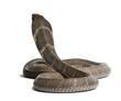 king cobra - Ophiophagus hannah, poisonous