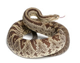 South American rattlesnake - Crotalus durissus,  poisonous poster