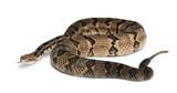 Timber rattlesnake - Crotalus horridus atricaudatus poster