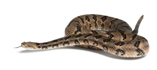 Timber rattlesnake - Crotalus horridus atricaudatus